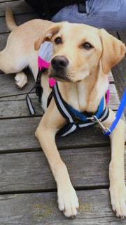 Valp assistanshund hundhjälpen