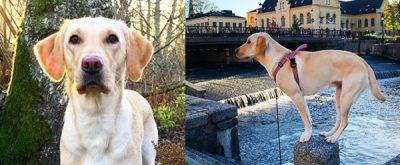 grundtränad sällskapshund